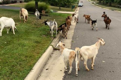 Kid you not: 20 plus goats have 'baaaackyard' party in Virginia yard
