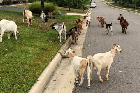 Kid you not: 20 plus goats have 'baaaackyard' party in Virginia yard