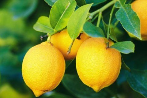 How heavy rains produced unusually large lemons and what it means for your grocery store