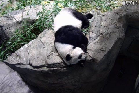 Giant panda at National Zoo may be pregnant