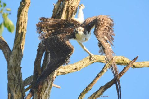 Rescued Md. osprey dies suddenly of extreme exertion and stress