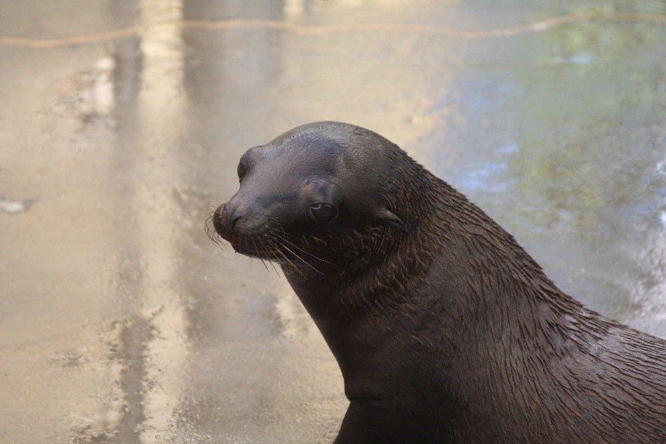Catalina, California sea lion at National Zoo