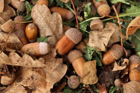 Believe it or nut: Virginia needs acorns