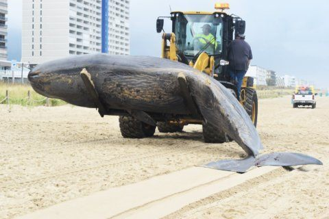 Latest on investigation into the Ocean City whale death