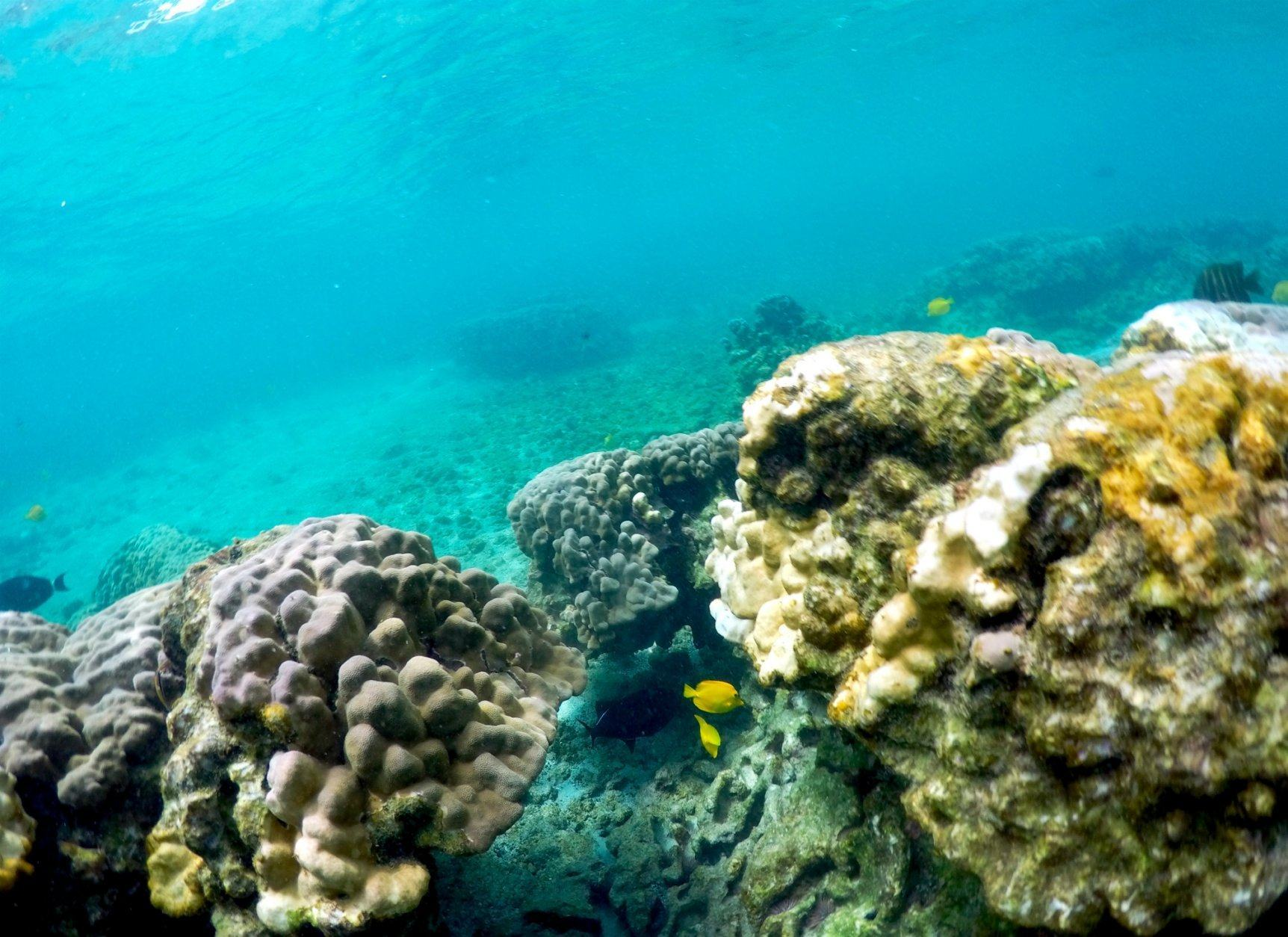 This Sept. 12, 2019 photo shows bleaching coral in Kahala'u Bay in Kailua-Kona, Hawaii. Just four years after a major marine heat wave killed nearly half of this coastline's coral, federal researchers are predicting another round of hot water will cause some of the worst coral bleaching the region has ever seen.  (AP Photo/Caleb Jones)