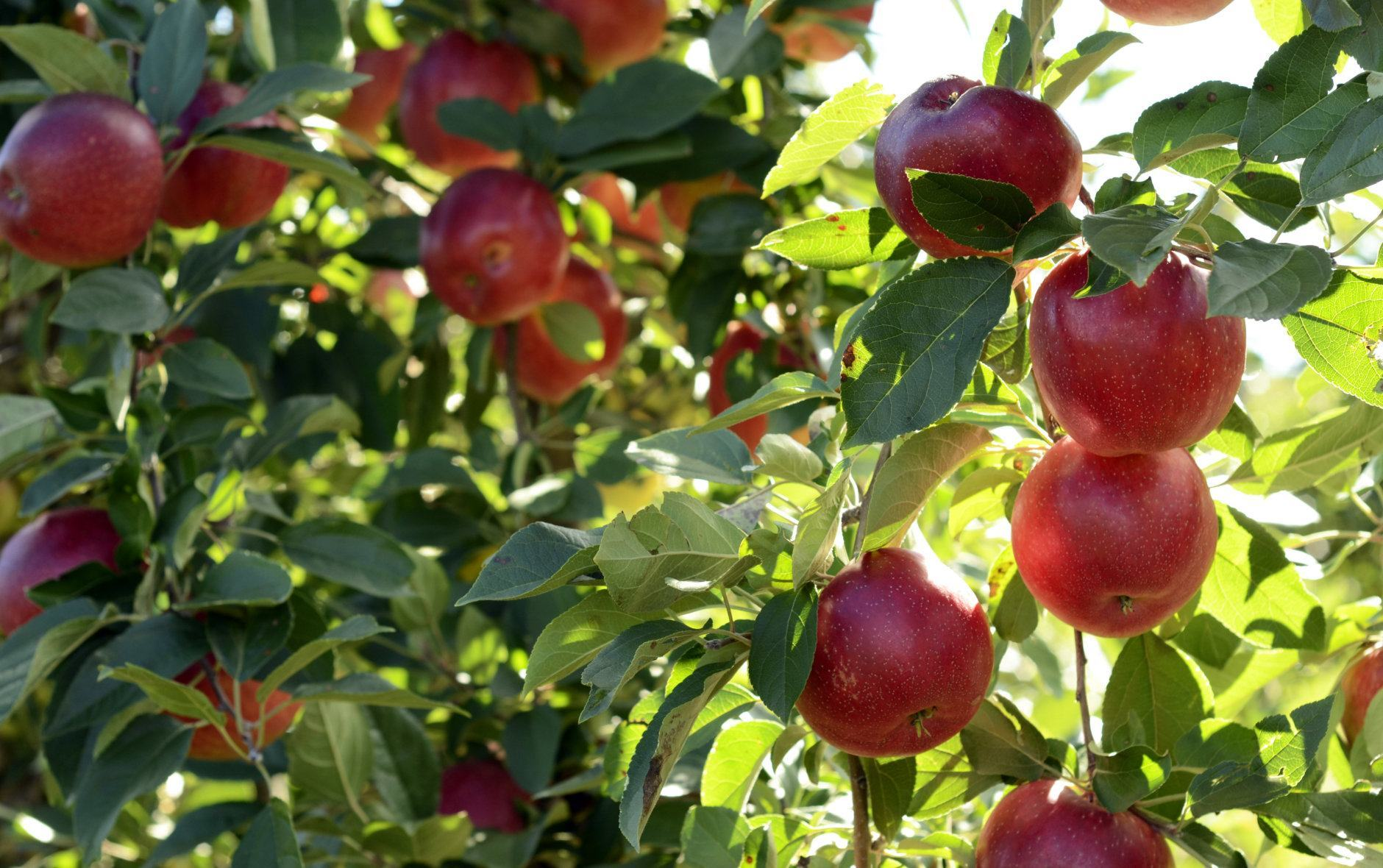 """<p><a href=""""http://www.markermillerorchards.com/index.php/home/""""><b>Marker-Miller Orchards</b></a><br /> <em><span style=""""font-weight: 400;"""">3035 Cedar Creek Grade, Winchester, Virginia</span></em></p> <p>There are plenty of apples to pick and plenty of fun for little ones at Marker-Miller Orchards. Check out the on-site bakery, playground, cow train and picnic area.<span style=""""font-weight: 400;"""">The annual Apple Harvest Festival takes place Oct. 12 and 13.</span></p> <p><a href=""""http://crookedrunorchard.com/"""" target=""""_blank"""" rel=""""noopener""""><strong>Crooked Run Orchard</strong></a><br /> <em>37883 E Main St, Purcellville, VA</em></p> <p>This small family farm in Loudoun County, Virginia, grows everything from peaches to pumpkins <span style=""""font-weight: 400;"""">— and yes, apples. There is no admission fee.</span></p>"""