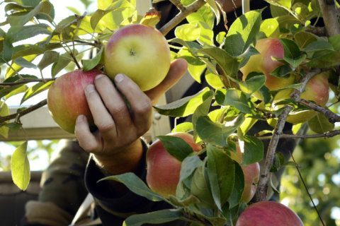 Where to go apple picking in the DC area