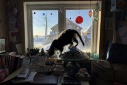In this Feb. 18, 2019, photo, a cat hops off a table lamp inside a home in Nome, Alaska. Most residents here live in single story homes built on the permafrost and use oil for heating. (AP Photo/Wong Maye-E)
