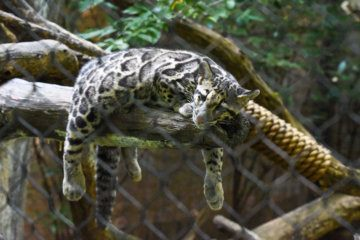 WATCH: Visitors can soon see rare clouded leopard cubs at National Zoo