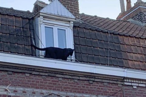 Cat burglar: Black panther caught prowling French rooftops