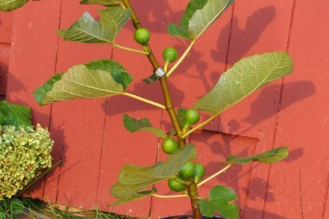 Yes, you can grow fresh figs in most parts of the country
