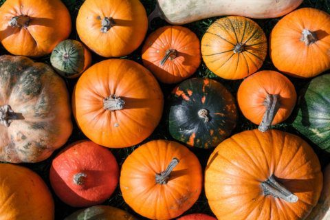 Only treats: Warm, dry weather good for local pumpkin crop