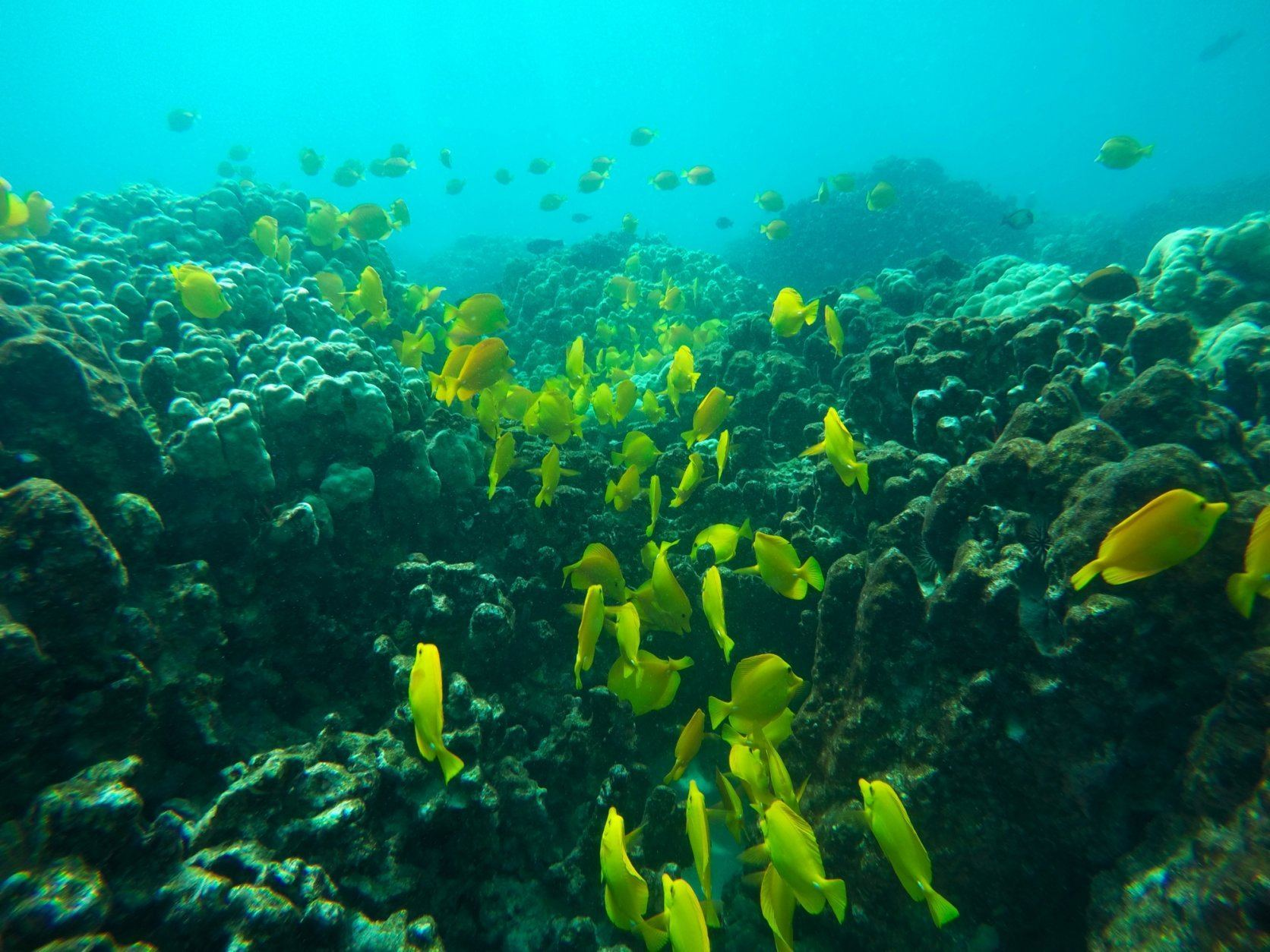 This Sept. 12, 2019 photo shows fish near coral in a bay on the west coast of the Big Island near Captain Cook, Hawaii. Just four years after a major marine heat wave killed nearly half of this coastline's coral, federal researchers are predicting another round of hot water will cause some of the worst coral bleaching the region has ever seen.  (AP Photo/Brian Skoloff)