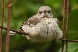 Baby mockingbird. This common bird thrives in cities and suburbs alike. (WTOP/Kate Ryan)