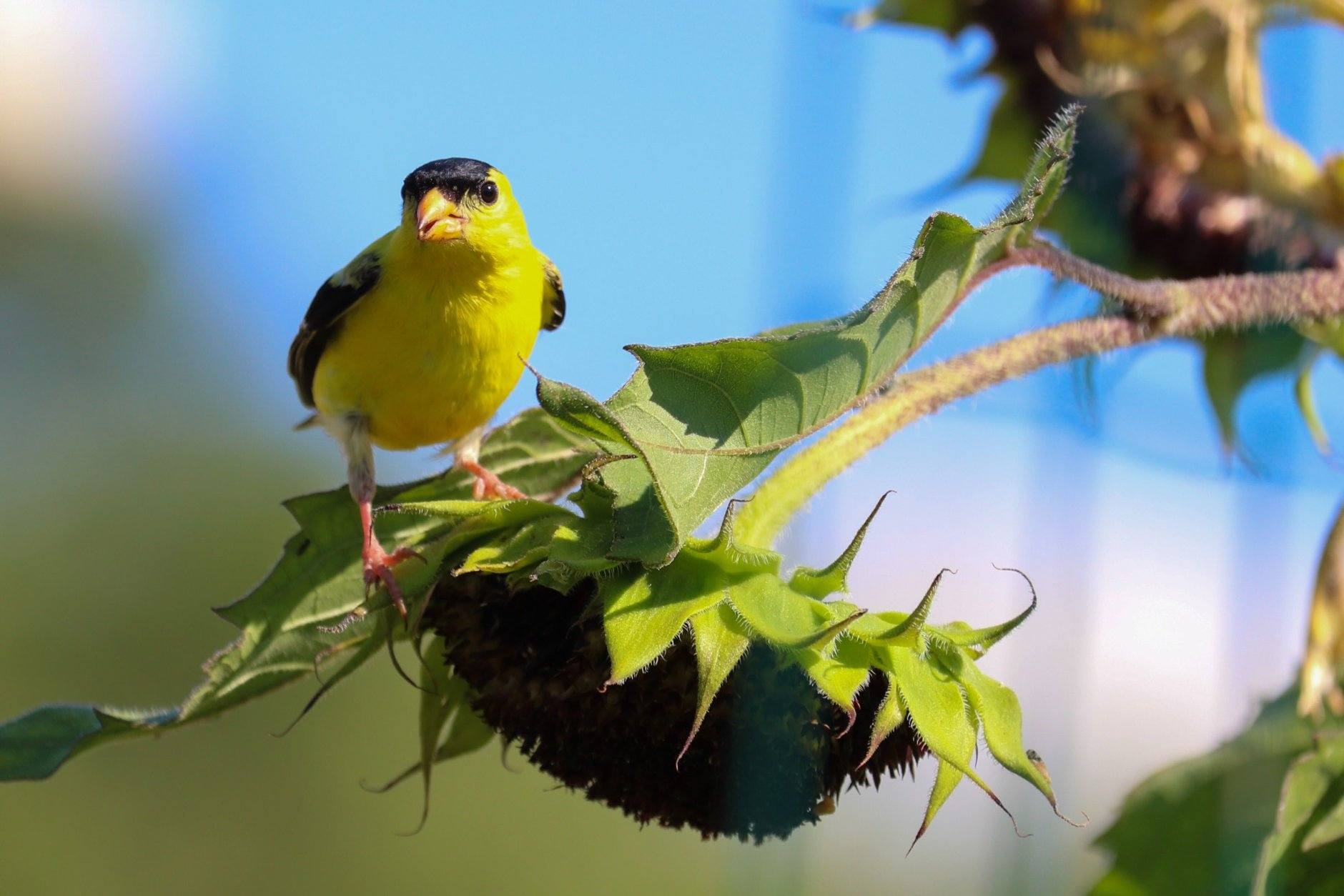 Native plants can provide food for birds like this male goldfinch. (WTOP/Kate Ryan)
