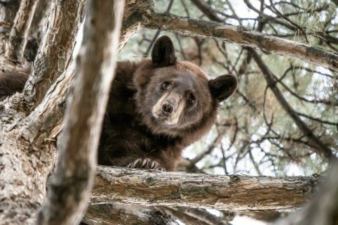Utah police use sirens to drive bear up tree for relocation