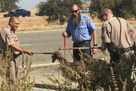 California Highway Patrol captures flightless fugitive emu