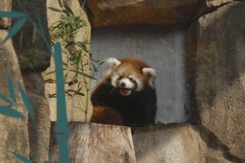 Milwaukee zoo visitors get first glimpse of red panda cub
