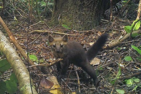 Oregon bans trapping of rare, cat-like Humboldt marten