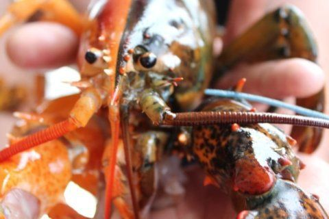 A super rare two-toned lobster turned up in Maine. It's one in 50 million
