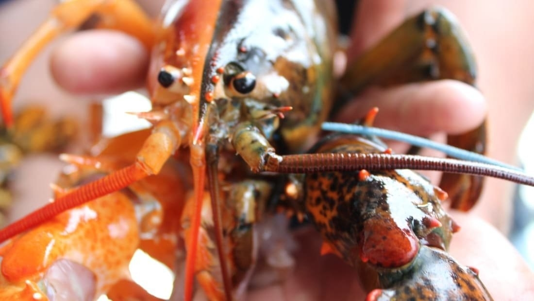 A fisherman off the coast of Maine pulled in an incredibly rare two-toned lobster on Friday. It's a one in 50 million find.CREDIT: Maine Center for Coastal Fisheries