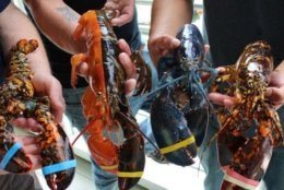 The bicolored male will complete a quartet of colorful crustaceans already on display at the Maine center. He'll live with two calico lobsters -- they're one in 30 million -- and a blue lobster that's one in 2 million.CREDIT: Maine Center for Coastal Fisheries