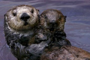 These sea otters adopt orphaned pups and raise them to be wild