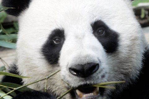 Popular panda on loan from China dies in Thai zoo