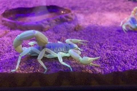 'I've got one!' Hunting neon scorpions in the Arizona desert