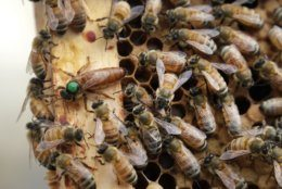 <p>In this Aug. 7, 2019 photo, the queen bee (marked in green) and worker bees move around a hive at the Veterans Affairs in Manchester, N.H. Veterans in programs like the one at the Manchester VA Medical Center in New Hampshire insist that beekeeping helps them focus, relax and become more productive. (AP Photo/Elise Amendola)</p>