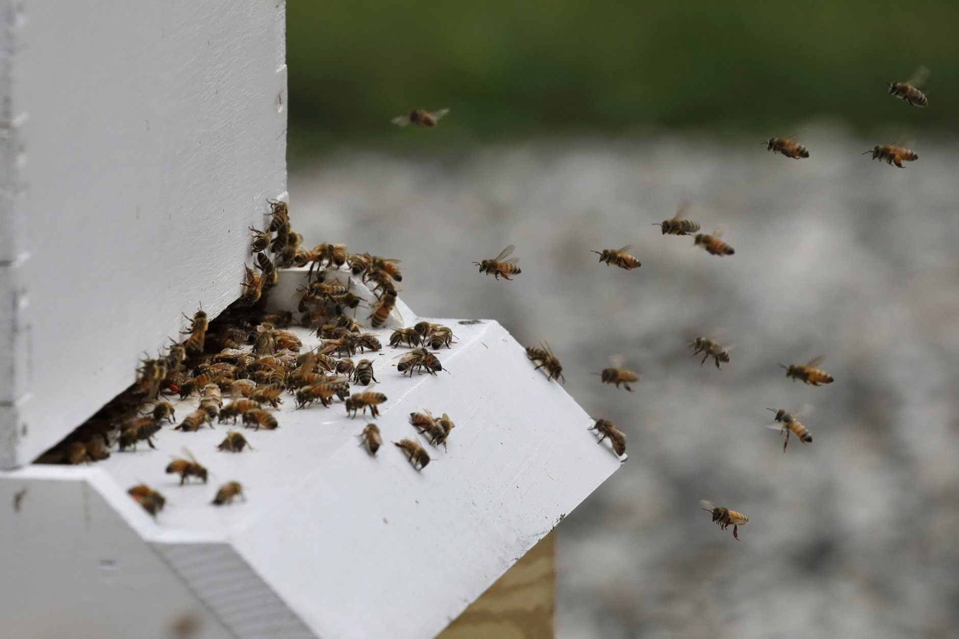 <p>In this Aug. 7, 2019 photo, bees return to a hive at the Veterans Affairs in Manchester, N.H. Veterans Affairs has begun offering beekeeping at a few facilities including in New Hampshire and Michigan, and researchers are starting to study whether the practice has therapeutic benefits. Veterans in programs like the one at the Manchester VA Medical Center insist that beekeeping helps them focus, relax and become more productive. (AP Photo/Elise Amendola)</p>
