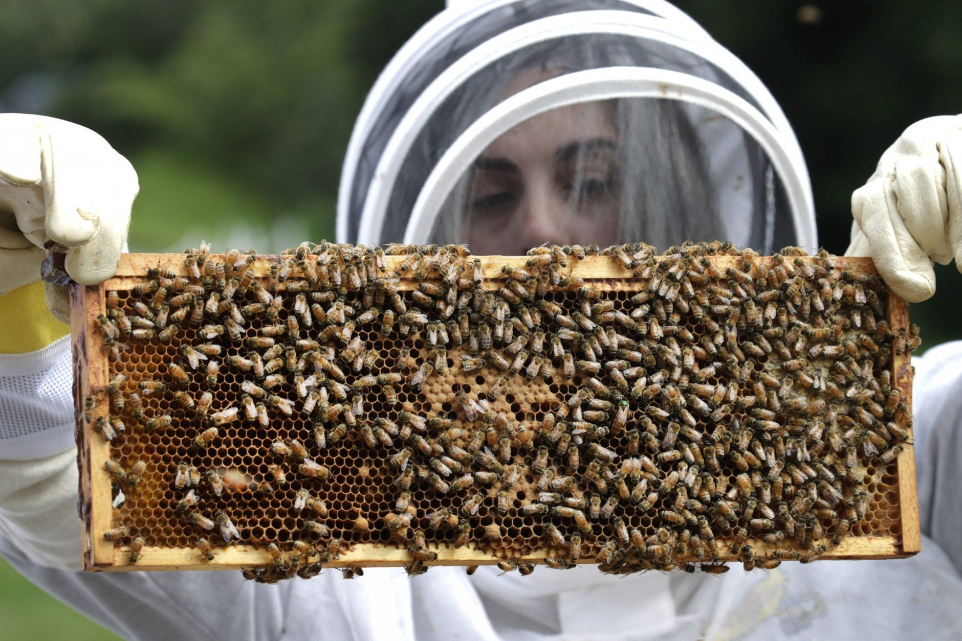 <p>In this Aug. 7, 2019 photo, U.S. Army veteran Wendi Zimmermann transfers a frame of bees to a new box, while checking them for disease and food supply at the Veterans Affairs&#8217; beehives in Manchester, N.H. Veterans Affairs has begun offering beekeeping at a few facilities including in New Hampshire and Michigan, and researchers are starting to study whether the practice has therapeutic benefits. (AP Photo/Elise Amendola)</p>