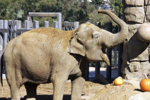 Santa Barbara Zoo's elderly elephant Little Mac euthanized