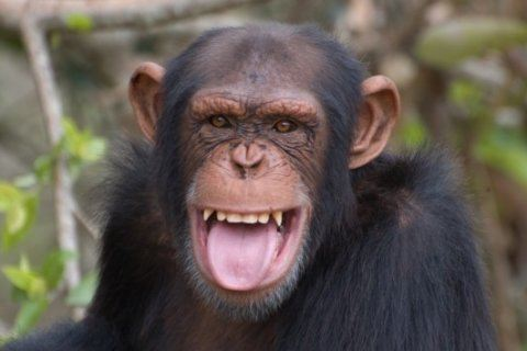 Chimpanzee on the loose in Texas, harassing people and dogs, reports say