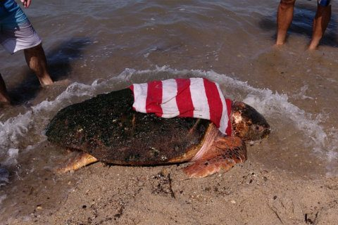 Hurricane strands nearly 300-pound turtle on Delaware beach