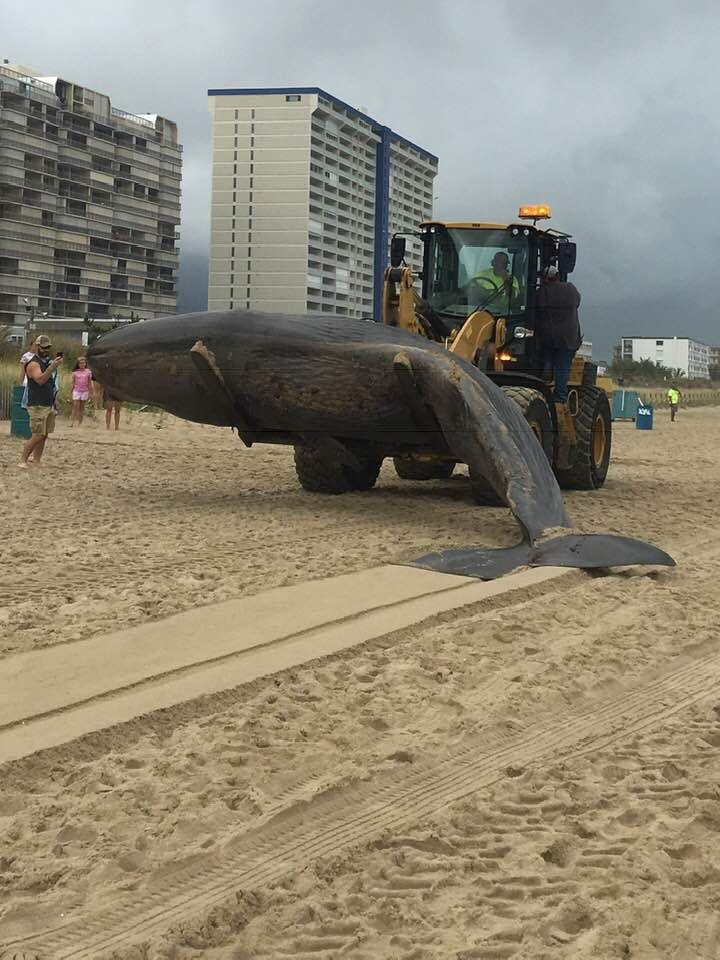 whale on OC beach