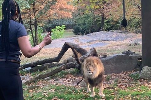 WATCH: Woman climbs over fence at Bronx Zoo's lion exhibit