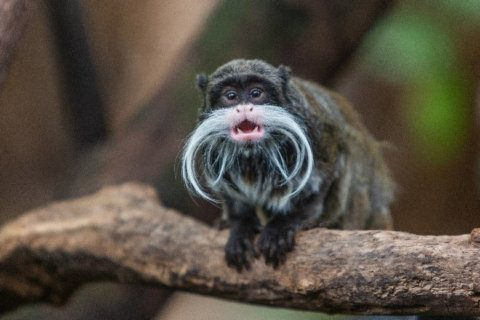Hair to stay: National Zoo welcomes 2 tiny, mustachioed monkeys
