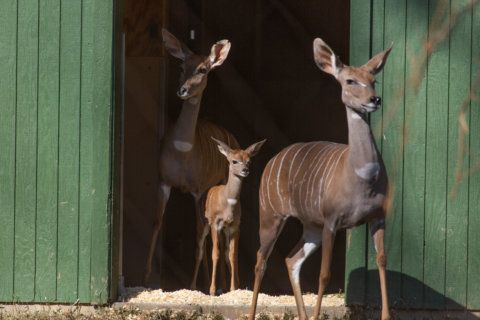 National Zoo announces birth of 1 kudu, death of another