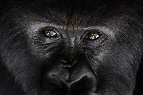 How do you help endangered gorillas? With lots of human help