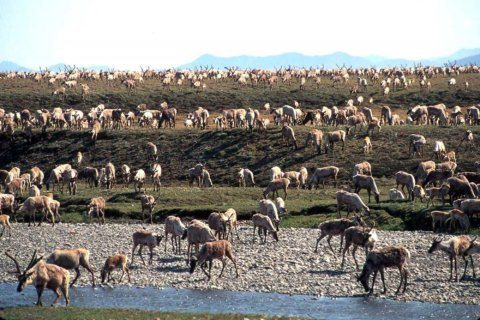 Critics gear up for response to lease sale in Arctic refuge