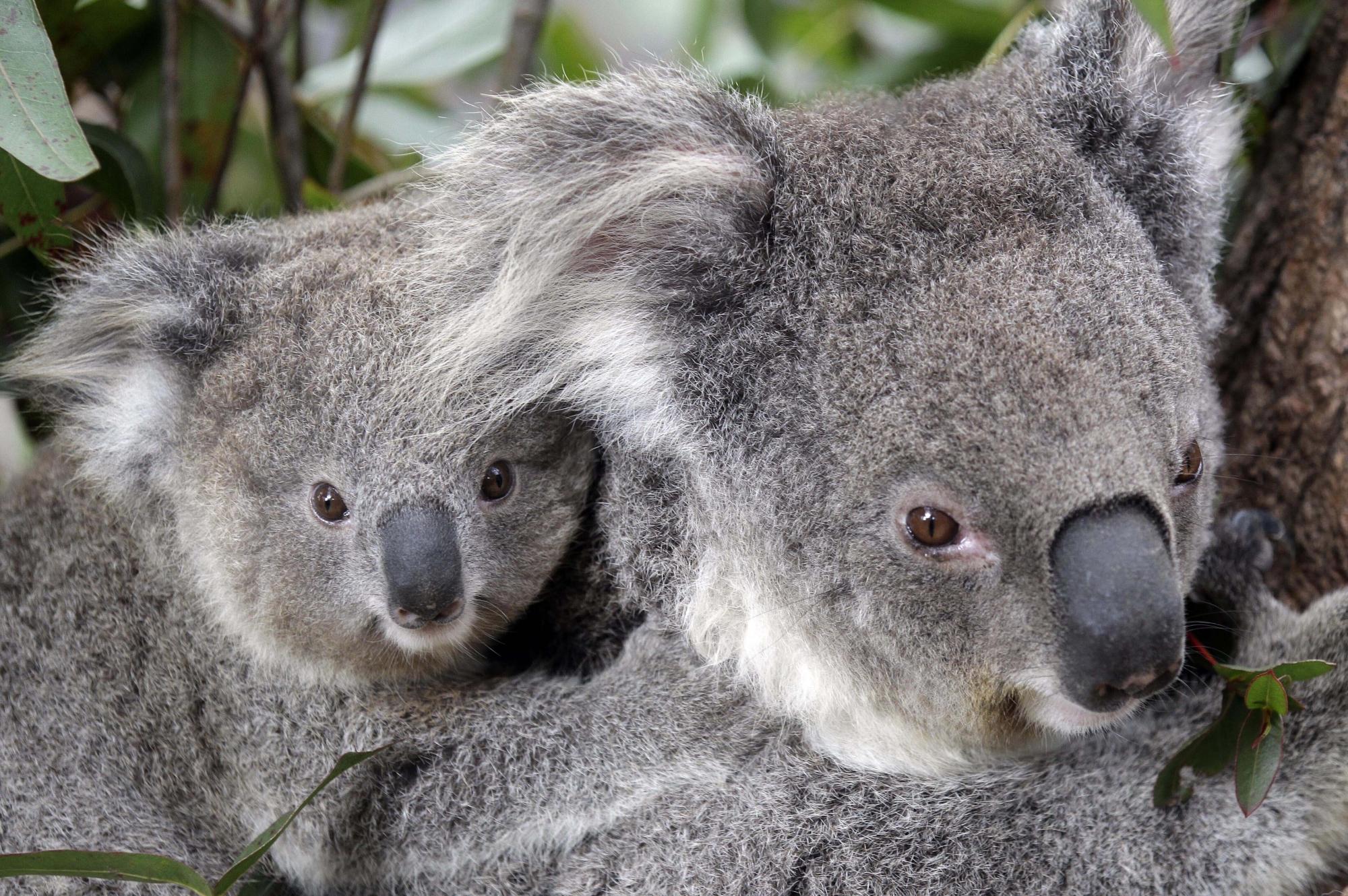 Hundreds Of Koalas Feared Dead In Australian Wildfires Wtop
