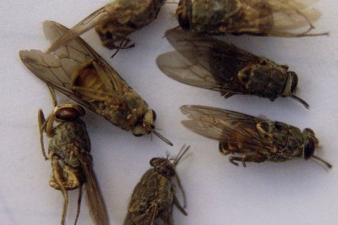 Malawi fights tsetse flies, disease after wildlife relocated