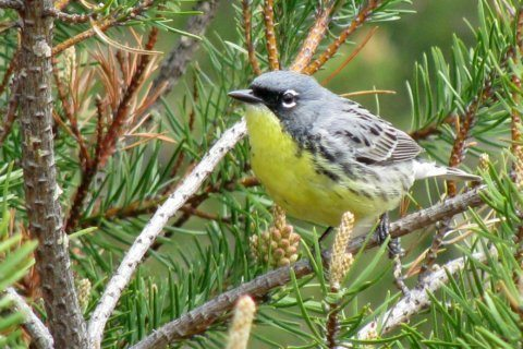Once nearly extinct, songbird coming off endangered list