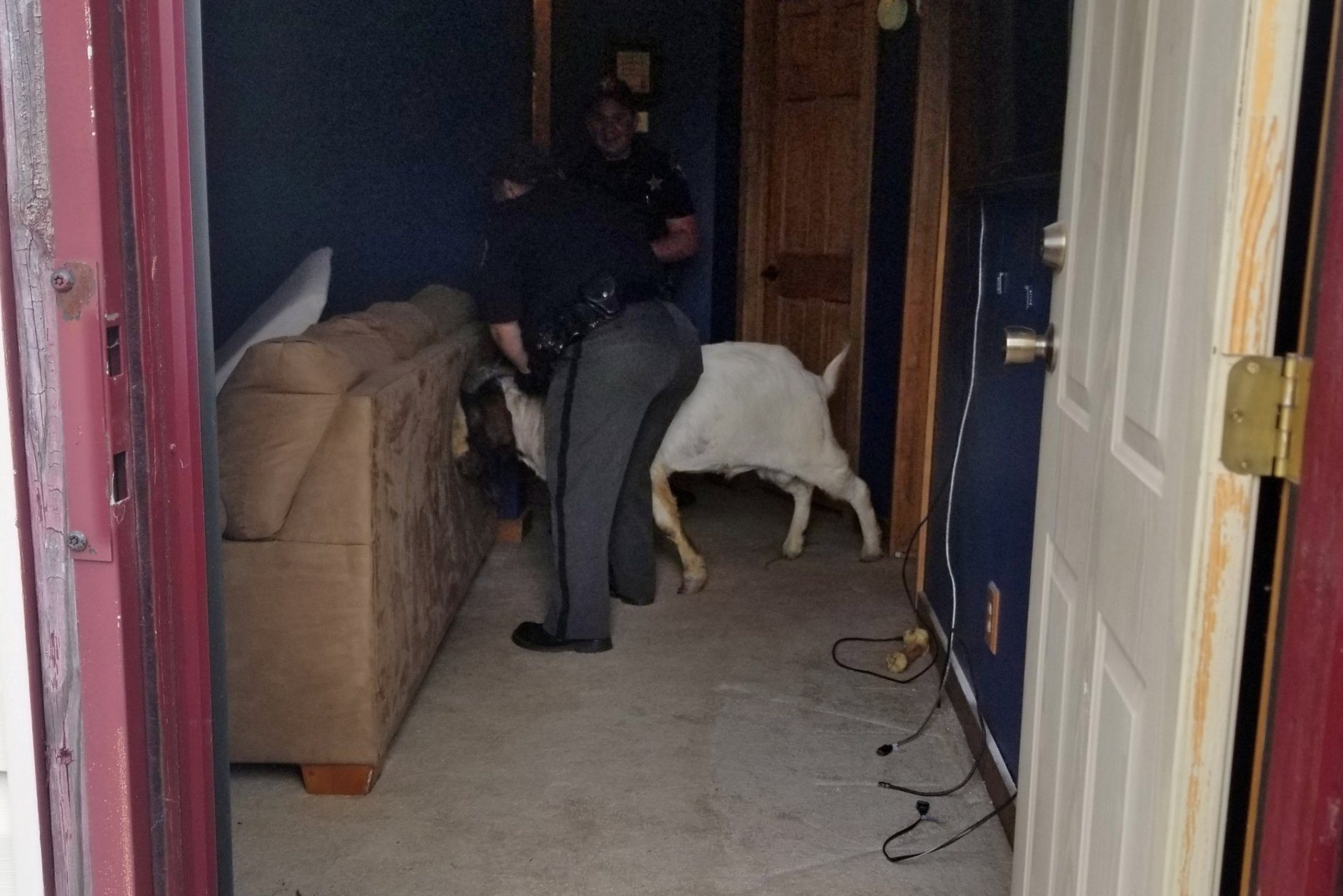 "In this Friday, Oct. 4, 2019 photo, Ashland County sheriff's deputies wrangle up a goat found in a home in Sullivan Township, Ohio. The goat named ""Big Boy,"" who had escaped from a farm several miles away,  was found napping in the bathroom after it broke into the home by ramming through a sliding glass door. (Jenn Keathley via AP)"