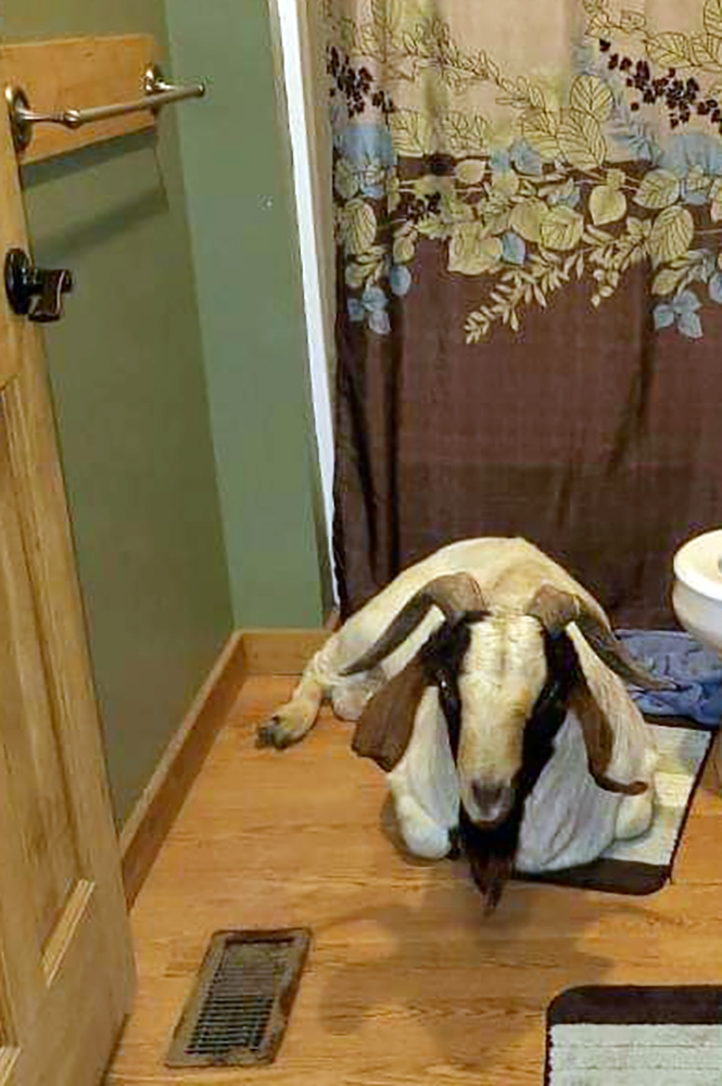 "In this Friday, Oct. 4, 2019 photo, a goat sits in the bathroom of a home in Sullivan Township, Ohio. The goat named ""Big Boy,"" who had escaped from a farm several miles away,  was found napping in the bathroom after it broke into the home by ramming through a sliding glass door. (Jenn Keathley via AP)"