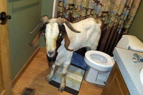 Goat rams through sliding glass door, naps inside bathroom
