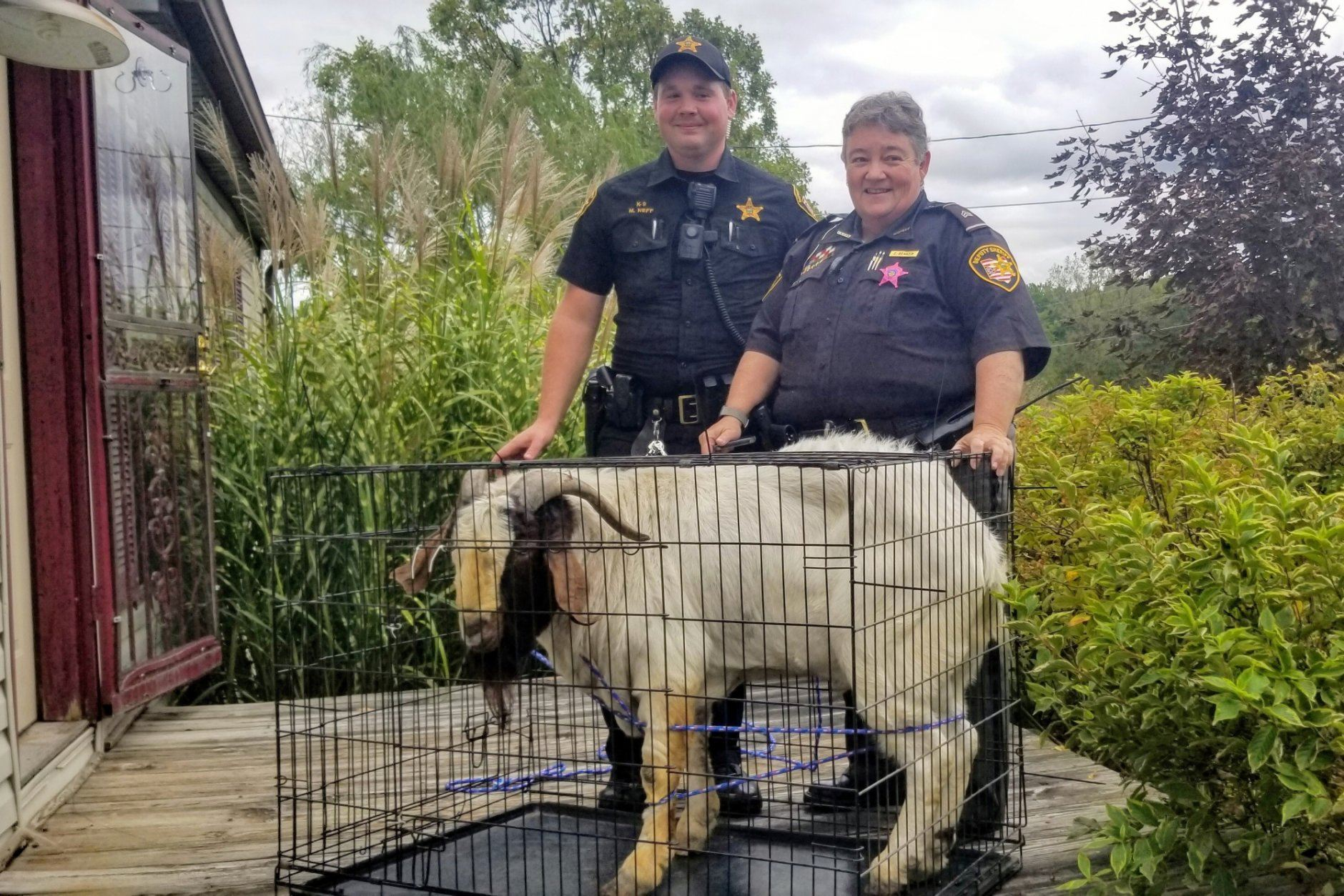"In this Friday, Oct. 4, 2019 photo, Ashland County sheriff's deputies pose with a goat the removed from a home in Sullivan Township, Ohio. The goat named ""Big Boy,"" who had escaped from a farm several miles away, was found napping in the bathroom after it broke into the home by ramming through a sliding glass door. (Jenn Keathley via AP)"