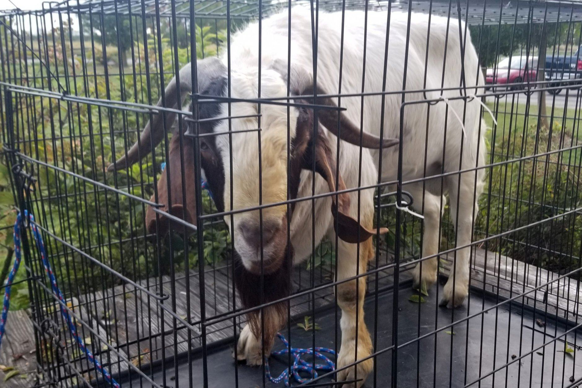 "In this Friday, Oct. 4, 2019 photo, a goat stands in a cage after Ashland County sheriff's deputies removed it from a home in Sullivan Township, Ohio. The goat named ""Big Boy,"" who had escaped from a farm several miles away, was found napping in the bathroom after it broke into the home by ramming through a sliding glass door. (Jenn Keathley via AP)"