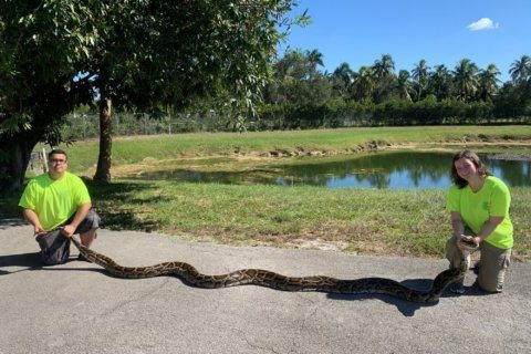 Florida trappers capture record-setting python in Everglades